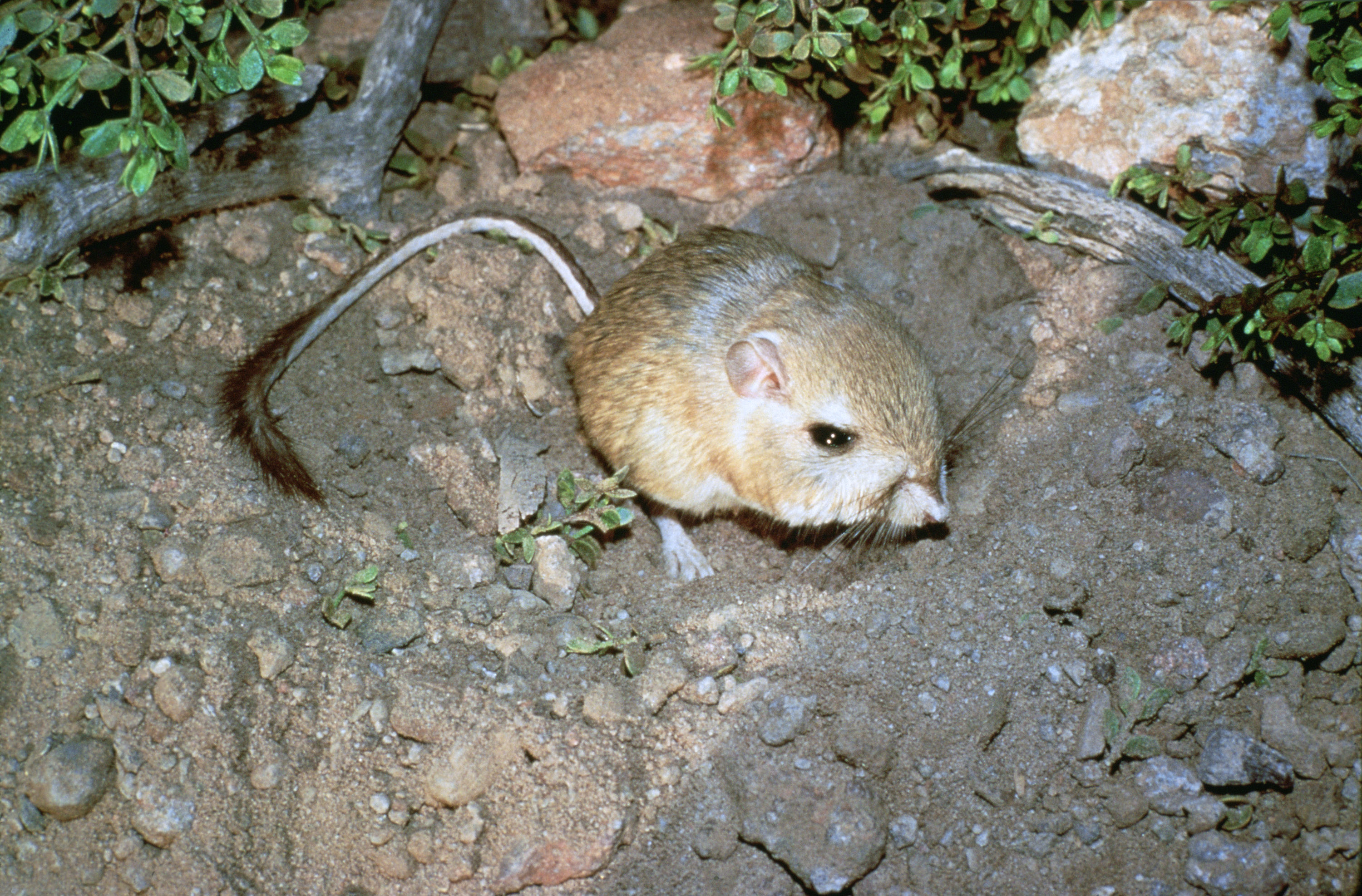 Kangaroo Rat Adaptations