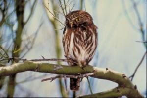 Pygmy Owl Courtesy US FWS Bob Miles, Photographer
