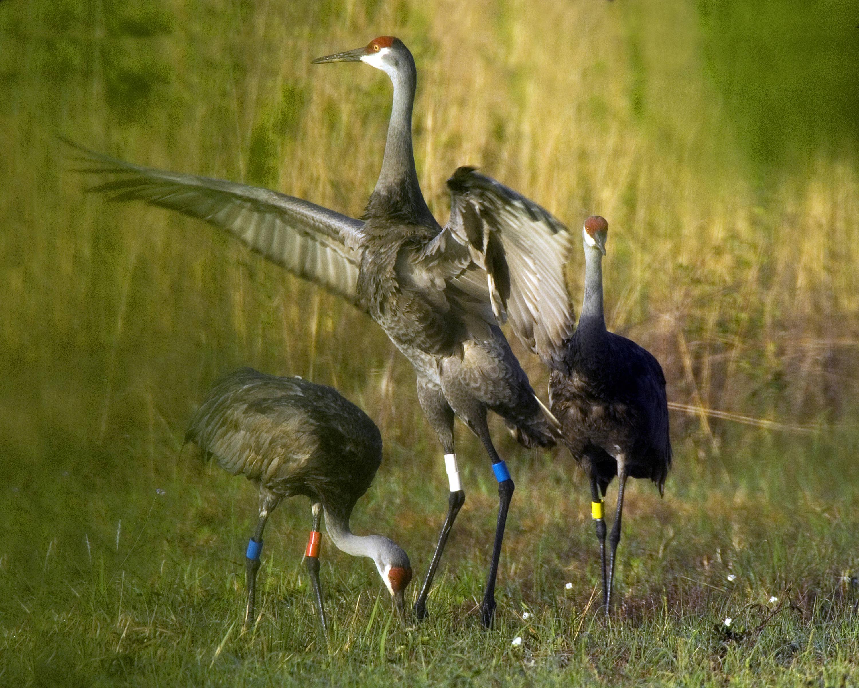 Sandhill Crane National Wildlife Federation >> Jun 12 13 Cache Valley Sandhill Crane Festival Bridgerland