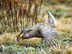 Sharp-tailed Grouse Courtesy US FWS Richard Baetsen, Photographer