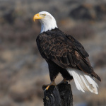 Bald Eagle, (Haliaeetus leucocephalus), Courtesy US FWS
