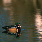 Wood Duck, (Aix sponsa),Courtesy US FWS, Gary Kramer, Photographer