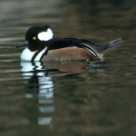Hooded Merganser Lophodytes cucullatus Courtesy US FWS Tim McCabe, Photographer