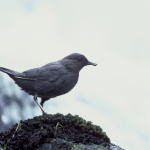 American Dipper, (Cinclus mexicanus), Courtesy US FWS, Dave Menke, Photographer