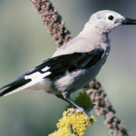 Clarks Nutcracker, (Nucifraga columbiana) Courtesy US FWS, Dave Menke, Photographer