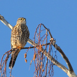 Merlin, (Falco columbarius), Courtesy US FWS, Dave Menke, Photographer