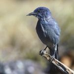 Pinyon Jay, (Gymnorhinus cyanocephalus), Courtesy US FWS, Dave Menke, Photographer