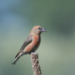 Red Crossbill, (Loxia curvirostra), Courtesy US FWS, Dave Menke, Photographer