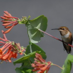 Rufous Hummingbird, (Selasphorus rufus), Courtesy US FWS, Dave Menke, Photographer