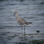 Willet, (Tringa semipalmata), Courtesy US FWS, Lee Karney, Photographer
