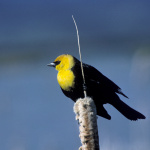 Yellow-headed Blackbird, (Xanthocephalus xanthocephalus) Courtesy US FWS, Dave Menke, Photographer