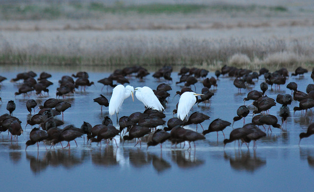 White Faced Ibis & Great Egrets  at the Amalga Barrens Sanctuary Courtesy & © Ryan O'Donnell