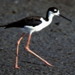 Black-Necked Stilt Himantopus mexicanus Courtesy US FWS