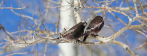 Two black rosy-finches perch against a brilliant Utah sky. Courtesy and Copyright Janice Gardner, Photographer Wild Utah Project https://wildutahproject.org/