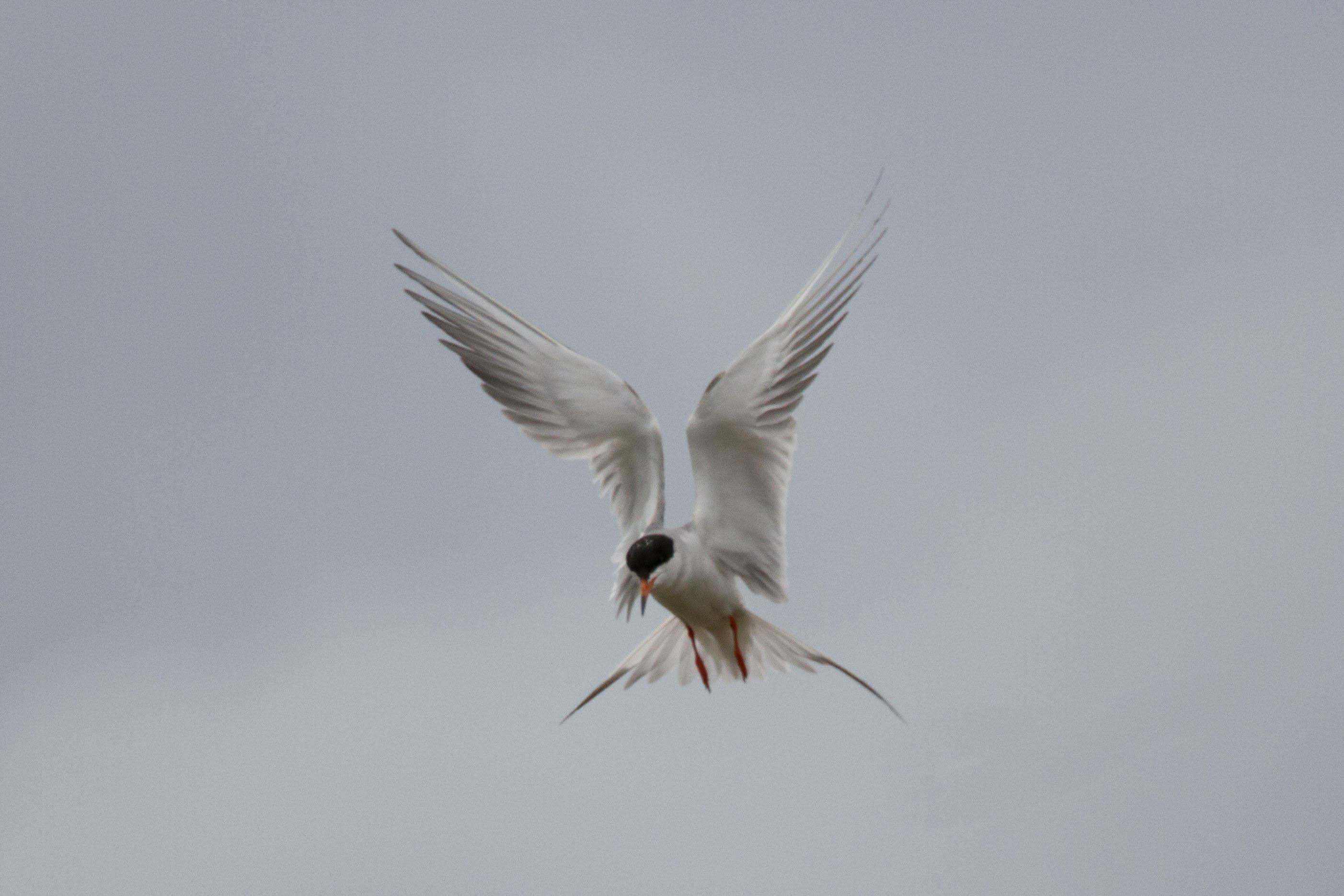 Common Tern Courtesy & © Jose Pacheco, Photographer