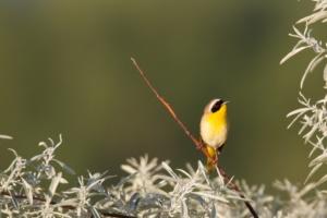 Common Yellowthroat Courtesy & © Jose Pacheco, Photographer