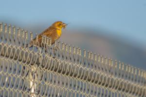 Female Yellow-headed Blackbird Courtesy & © Jose Pacheco, Photographer