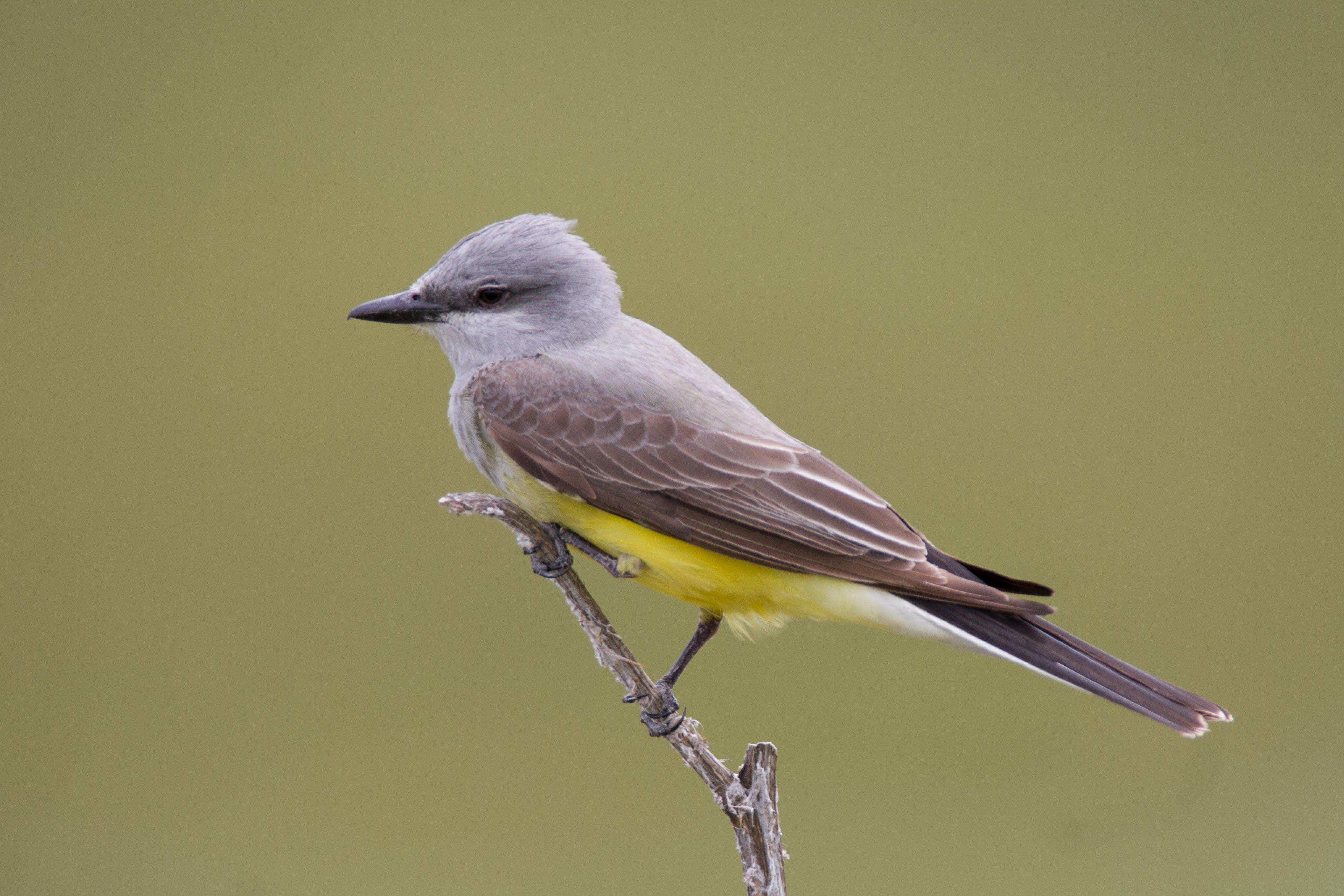 Western Kingbird Courtesy & © Jose Pacheco, Photographer