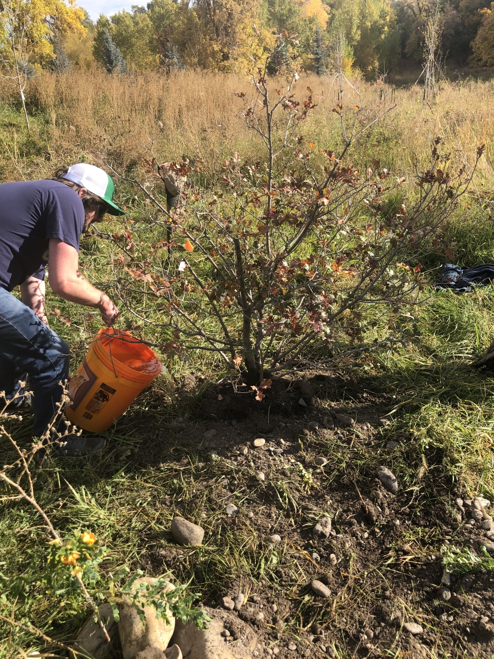 Click to Visit: Gambrel Oak, Donated by Logan City Forester Rex Davis, for the Denzil Stewart Nature Park. Planted Oct 10, 2020