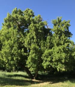 """Jewel in the Crown"" Boxelder tree in Denzil Stewart Nature Park Courtesy & © Hilary Shughart, Photographer"