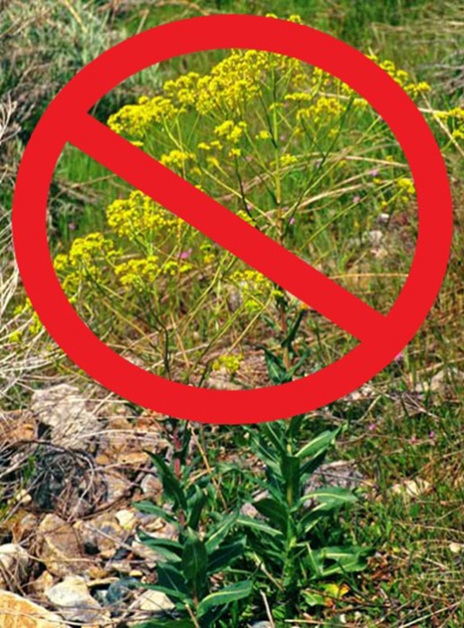Help Fight Weeds on Our Public Lands Saturday, May 22, 2021, 9:00 a.m. – 1:00 p.m. Canyon Entrance Park Pavilion (First Dam), US 89 & Canyon Road, Logan, UT Contact: lisa.thompson3@usda.gov 801-625-5850