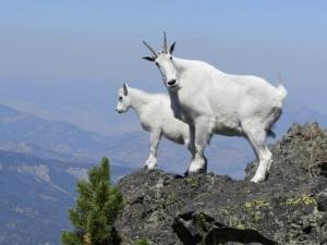 Mountain Goats in the Bear River Range: Mountain Goats on the Kenai Peninsula Courtesy US National Park Service