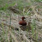 Cinnamon Teal at the Bear River Migratory Bird Refuge Anas cyanoptera Courtesy US FWS